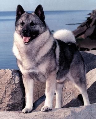 http://hunter-laika.narod.ru/olderfiles/1/Norwegian20Elkhound.jpg